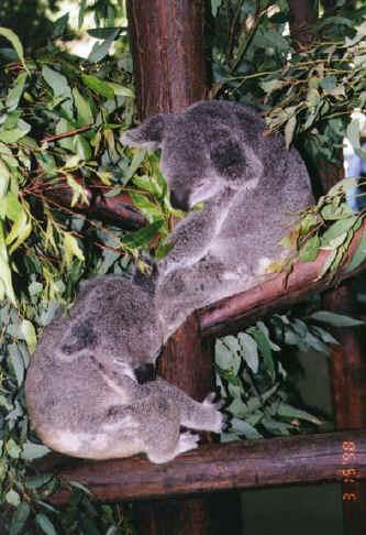 koala04.jpg (86655 bytes)